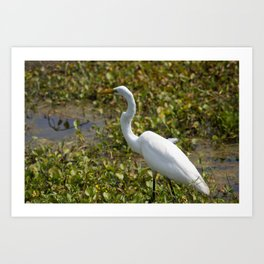 Great Egret on the Prowl Art Print