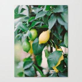 Lemons on A Lemon Tree Canvas Print