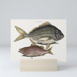 Pork Fish (Perca romboidalis) Schoolmaster fish (Perca pinnis) from The Natural History of Carolina, Mini Art Print