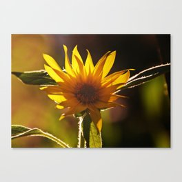 Sunflower at Sunset Canvas Print