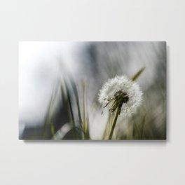 Dandelion in the morning sun Metal Print