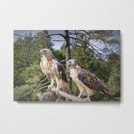 Pair of Red-tail Hawks in West Michigan Woodland Metal Print
