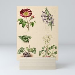 rosa gallica, salvia hians, asarum japonica, saxifraga geranioides89 Mini Art Print