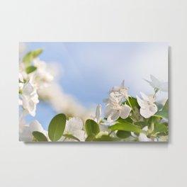 Flowering Cerasus cherry tree Metal Print
