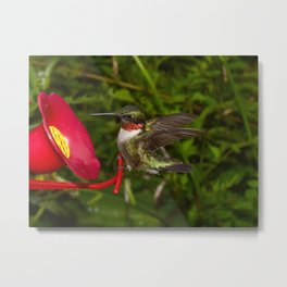 Perched Male Hummingbird With Wings Extended 39 Metal Print