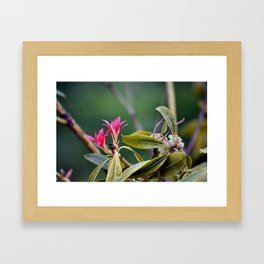 Pieris Japonica Framed Art Print