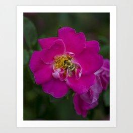 Bee on Wild Rose Art Print