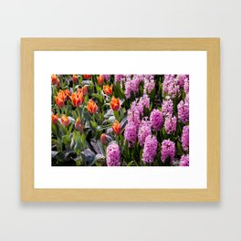 Garden with Orange Tulips and Pink Hyacinth Flowers in Amsterdam, Netherlands Framed Art Print