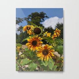 Sunflowers nature Flowers Metal Print