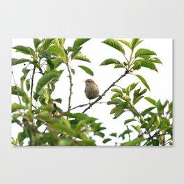 Wren Songbird Bird on a Branch (Troglodytes) Canvas Print