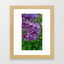 Lilac Blooms Framed Art Print