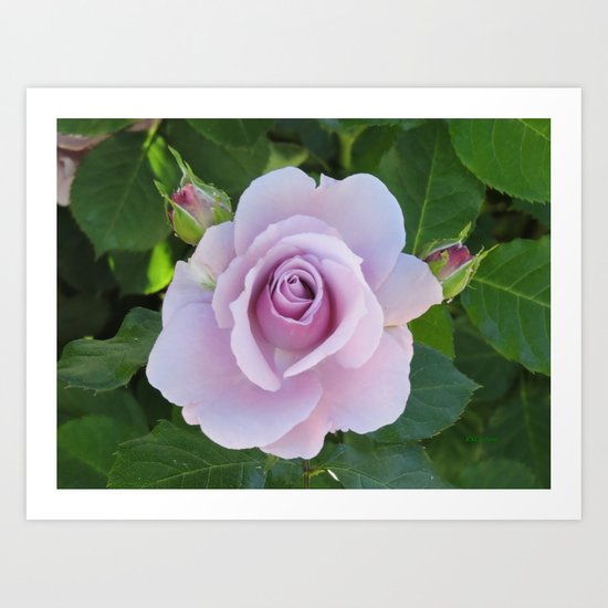 Bloom and Buds Paling to Purple Art Print
