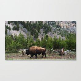Bison Roaming Canvas Print