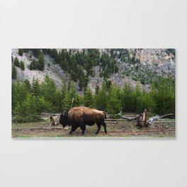 Bison Roaming Canvas Print