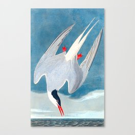 Arctic Tern Bird Canvas Print