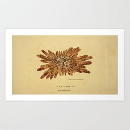 Vintage Print - Arcana or The Museum of Natural History (1811) - Club Echinus Art Print