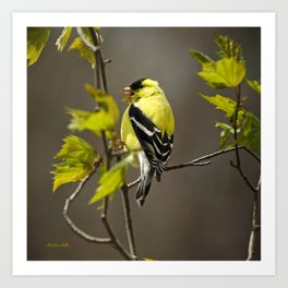 Goldfinch in Song Art Print