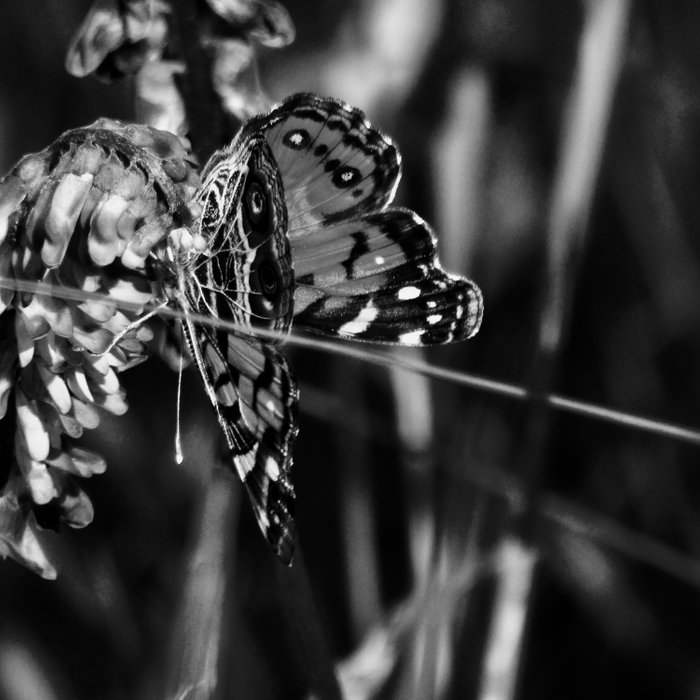 American Lady Butterfly in Black and White Comforters