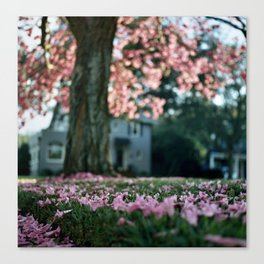 Trumpet Tree in Full Bloom (Tabebuia) Canvas Print