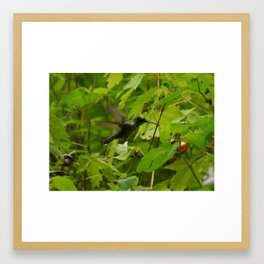 Hummingbird in Jewelweed Framed Art Print