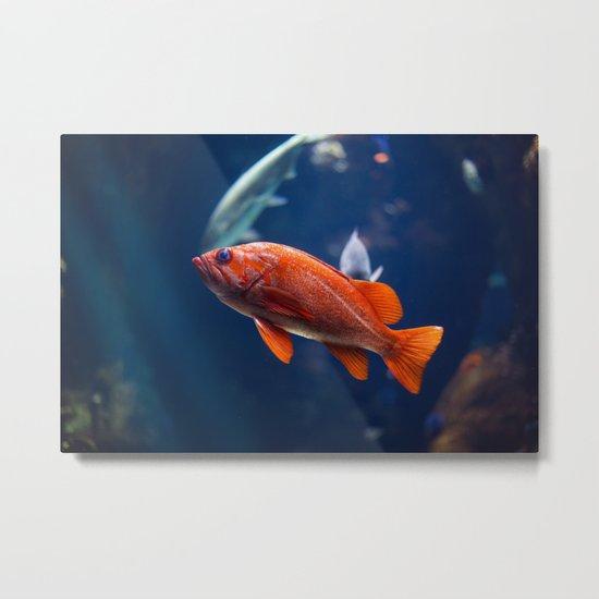 Red fish water Metal Print