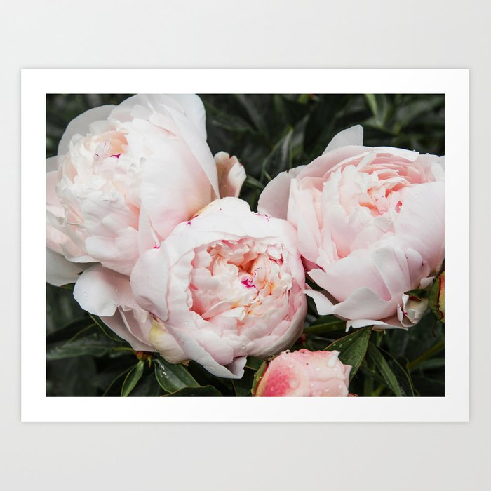 Flower Photography Peonies Cluster Blush Pink Floral Peony Art