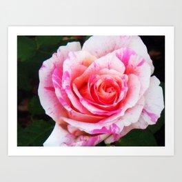 Red white Rose Close up Art Print