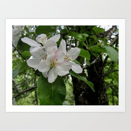 Wild Maine Apple Blossoms Art Print