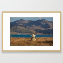New Zeland Sheep Framed Art Print