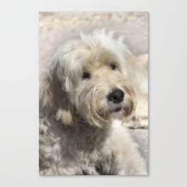 Dog Goldendoodle Golden Doodle Canvas Print