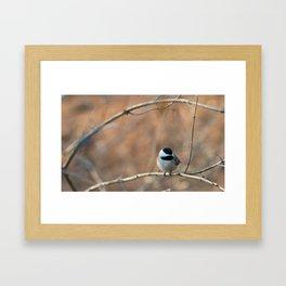 Black Capped Chickadee Framed Art Print
