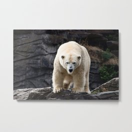 Polar Bear Portrait Metal Print