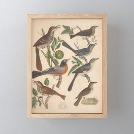 Ferruginous Thrush Hermit Thrush Cat Bird Mocking Bird Robin Wood Thrush Tawny Thrush9 Framed Mini Art Print