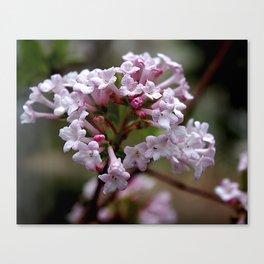 Beautiful Spring Blossoms - Koreanspice Viburnum Canvas Print