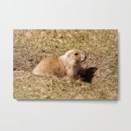 Black Tailed Prairie Dog on Watch Metal Print