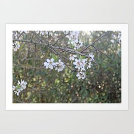 Almond tree branches and flowers Art Print