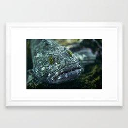 Unimpressed ling cod Framed Art Print