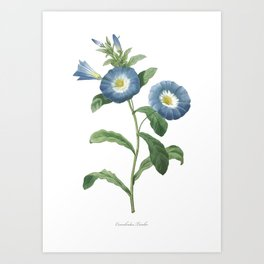 HIGHEST QUALITY botanical poster of Dwarf morning-glory Art Print