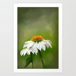 Little White Cone Flower Art Print