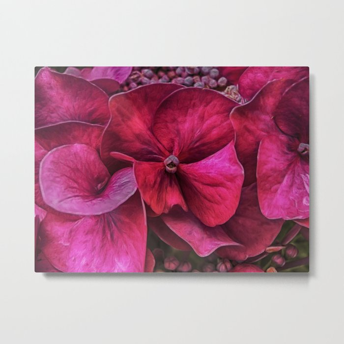 Hydrangea Red blooms Metal Print
