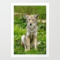 coyote Art Prints featuring Coyote by Tracey Dryka