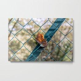 Oak leaf trapped Metal Print