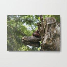 Lazy Orangutan Metal Print