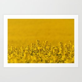 Bright yellow rapeseed blossoms & field - rural landscape photograph Art Print