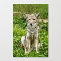 coyote Canvas Prints featuring Coyote by Tracey Dryka