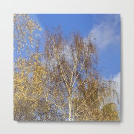 Birch in the Autumn-Light Metal Print