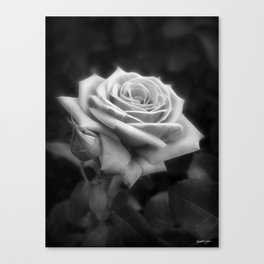 Pink Roses in Anzures 3 B&W Canvas Print