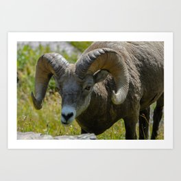 Bighorn Sheep Close-up Art Print