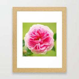 Pink Rose On A Natural Green Background #decor #society6 #buyart Framed Art Print