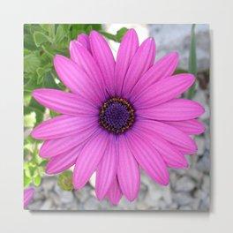 Violet Pink Osteospemum Flower Daisy  Metal Print